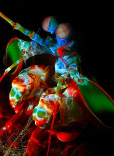 The Mantis Shrimp has the most complex eyes in the animal kingdom. While humans only have 3 color receptive cones that allow us to see color, the Mantis Shrimp has 16 color receptive cones! Imagine all the types of colors they can see! Underwater Creatures, Underwater Life, Ocean Creatures, Under The Water, Life Under The Sea, Beautiful Creatures, Animals Beautiful, Beautiful Things, Nature Photography