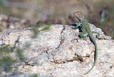 """""""get my good side"""" - Male Eastern Collared Lizards are one of the most impressive and beautiful lizards in Southwest Arizona. They tend to live in rocky areas, and are predators on insects and other small reptiles and mammals - The best time to see them is around 11 AM when it is just starting to get hot. Sabino Canyon ©R.C. Clark: Dancing Snake Nature Photography #arizona, #nature, #photography, #dancingsnakenaturephotography, #reptiles, #lizards, #EasternCollard"""