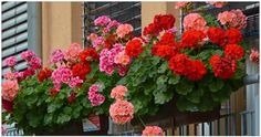 muscatele se uda cu drojdie si zahar dizolvate in apa Window Box Plants, Window Box Flowers, Window Boxes, Red And White Flowers, Orange Flowers, Growing Flowers, Planting Flowers, Seeds For Sale, Drought Tolerant Plants
