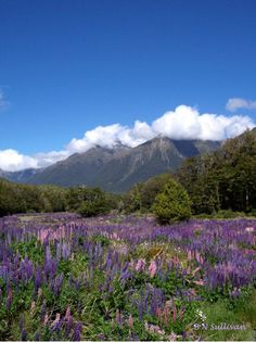 Field of Russell Lupines (Lupinus polyphyllus) in Fiordland, New Zealand - photo by B N Sullivan