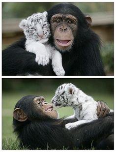Photo: Best buddys. :) White tiger and chimpanzee.