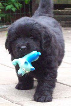 Pup Newfoundlander