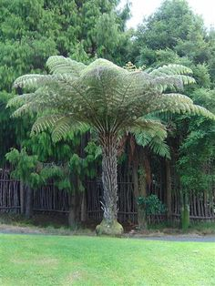 Cyathea dealbata - New Zealand Silver-Tree Fern