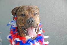 TO BE DESTROYED 6/30/14 Brooklyn Center - P My name is MIKE. My Animal ID # is A1003798. I am a male br brindle and white mastiff mix. The shelter thinks I am about 3 YEARS old.  I came in the shelter as a STRAY on 06/19/2014 from NY 11691, owner surrender reason stated was STRAY.
