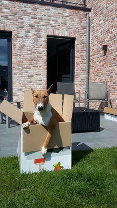 Cutest present ever! #mini #bull #terrier