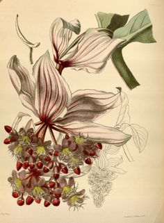 Medinilla magnifica - circa 1853 Vintage Botanical Prints, Botanical Drawings, Plant Illustration, Botanical Illustration, Botanical Flowers, Botanical Art, Audubon Prints, Pencil Drawings Of Flowers, Vintage Artwork