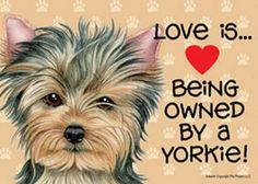 ^^Learn about yorkie poo. Check the webpage to find out more Viewing the website is worth your time. Yorkies, Yorkie Puppy, New Puppy, Puppy Love, Baby Yorkie, Chihuahua, Cute Puppies, Cute Dogs, Poodle Puppies