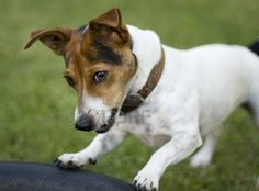 Cute Jack Russel Dog Playing In A Garden Royalty Free Stock Photo ...