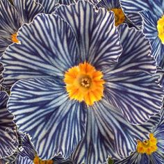 The Zebra Blue Primrose is not color enhanced.... this is the way they grow. << This would be such a cute flower for bouquets/ arrangements if your wedding had any seersucker in it or you wanted a nautical look