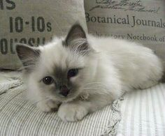 Ragdoll kitten                                                                                                                                                                                 More