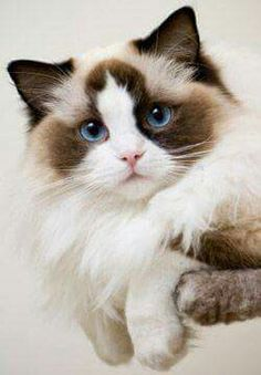 I seriously love ragdoll kittens. best images ideas about ragdoll kitten - most affectionate cat breeds - Tap the link now to see all of our cool cat collections! Cute Kittens, Siamese Kittens, Ragdoll Cats, Fluffy Kittens, Bengal Cats, Sphynx Cat, Fluffy Cat, Pretty Cats, Beautiful Cats