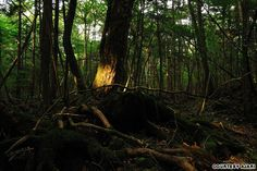 Aokigahara Forest, the 'Sea of Trees,' 'suicide forest,' Mount Fuji, Japan.  It's become a mecca for suicides with 54 listed in 2010 but, the denseness is near impenetrable. Magnetic iron in the soil renders compasses useless, it's uncannily quiet & said to be haunted.