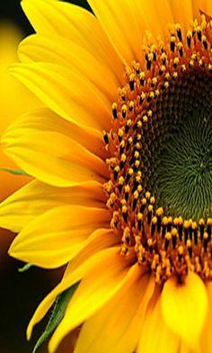 Sunflowers sunflower wallpaper, flower phone wallpaper и paper sunf Paper Sunflowers, Sunflowers And Daisies, Love Flowers, Beautiful Flowers, Growing Sunflowers, Sun Flowers, Sunflower Quotes, Sunflower Pictures, Sunflower Art