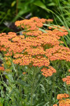 Achillea 'Feuerland',Yarrow 'Feuerland', 'Feuerland' Yarrow, Achillea Millefolium 'Feuerland', Achillea Millefolium, yarrow plant, yarrow flower, summer perennial, drought tolerant perennial, red flowers, yellow flowers