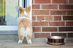 Paddington the Corgi Puppy by Posh Pets Photography | Pretty Fluffy