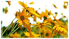 Yellow flowers in autum. By EVAsionicreative