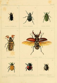 beetles, zoology illustration