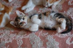 calico kittens - Google Search