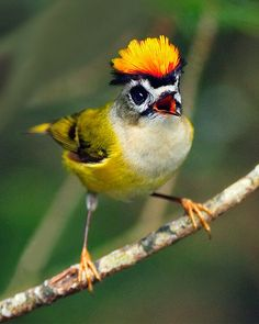 Firecrest aka common firecrest bird.. A very small passerine bird in the kinglet family. It breeds in most of temperate Europe and northwestern Africa