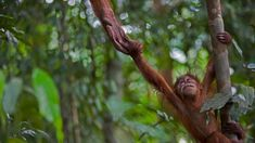 An infant Sumatran orangutan in Gunung Leuser National Park, Indonesia (© Cyril Ruoso/Minden Pictures) – 2018-02-17 [http://www.bing.com/search?q=sumatran+orangutans&form=hpcapt&filters=HpDate:%2220180217_0800%22]