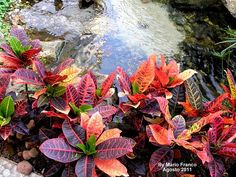 Codiaeum      variegatum      NOME CIENTÍFICO : Codiaeum  variegatum.    NOME POPULAR : Cróton , folha-imperial, louro- variegado .  ...