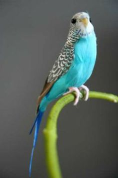 Blue Budgie - A Fabulous Artificial Bird