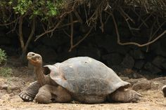 Gigantisch zijn ze... De reuzen schildpadden van de Galapagos Eilanden.