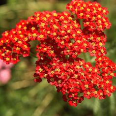 'Paprika' yarrow  Achillea millefolium 'Paprika' blooms in brilliant scarlet red with a distinctive yellow eye. With age the flowers take on a pink hue. The plant blooms all summer if deadheaded. Zones 3-9