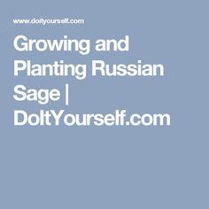 Growing and Planting Russian Sage | DoItYourself.com