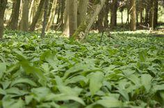 Ein eindeutiges Zeichen, dass Frühling ist:  Bärlauch färbt den Waldboden grün! #herbs #wildgarlic #spring