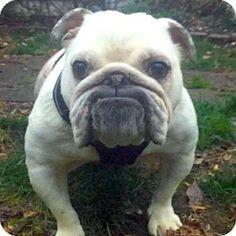 Newtown, PA - English Bulldog. Meet Winnie, a dog for adoption. http://www.adoptapet.com/pet/14684804-newtown-pennsylvania-english-bulldog