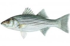 Striped Bass: Primarily a marine species native to the Atlantic Coast of North America, the striped bass has been successfully stocked into numerous reservoirs throughout the United States. A silvery, elongated fish with prominent dark, horizontal stripes along the sides. | Missouri Department of Conservation