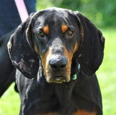 ***SUPER SUPER URGENT!!!*** - PLEASE SAVE STORMY!! - EU DATE: 10/9/2015 -- Stormy Breed:Black and Tan Coonhound Age: Adult Gender: Male Size: Large Special needs: altered, Special needs: hasShots, Shelter Information: Columbiana County Dog Pound 8455 County Home Rd Lisbon, OH Shelter dog ID: stormy Contacts: Phone: 330-424-6663 Name: Dawn email: dcroft@ccclerk.org About Stormy: Hello. My name is Stormy. I'm a 5-6 year old, purebred Black and Tan Coonhound. I was seized from my owner -along with