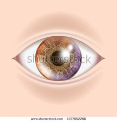 Human Eye Vector. Optometrist Check. Organ Test. Realistic Anatomy Illustration