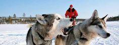 HUSKY DOG SLEDGE LAPLAND - WINTER 2017 (January / February) www.Incentives-Worldwide.com   #Lapland #Aurora #Snowmobile #TravelFinland #VisitFinland #Wintersport #Wanderlust #Travel #Reisen #Finnland #LapinKulta #Nordlicht #Winterreise #Snowtravel #WinterTravel #WinterTrip #Scandinavia #Skandinavien #SMSFrankfurt #SMSFrankfurt_GroupTravel #GroupTravel #VIPtours #VIPtravel #Husky #DogSledge #Hundeschlitten #Schlittentour #Schlittenfahrt #Sledge #Wintersafari