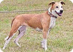 Cashiers, NC - Pit Bull Terrier/Greyhound Mix. Meet Aubie, a dog for adoption. http://www.adoptapet.com/pet/13699593-cashiers-north-carolina-pit-bull-terrier-mix