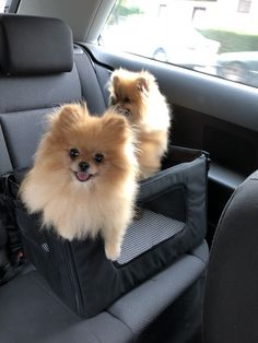 Pomeranian – Bold and Inquisitive Sweet Dogs, Cute Baby Dogs, Cute Dogs And Puppies, Doggies, Cute Little Animals, Cute Funny Animals, Beautiful Dogs, Animals Beautiful, Cute Pomeranian