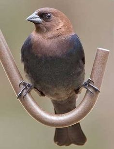 Brown-Headed Cowbird  -  by Judy Howle   ~ The Finest of Fur and Feather