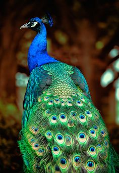 Painted Peacock Canvas Print / Canvas Art by Andrew Chianese Peacock Images, Peacock Pictures, Cow Pictures, Peacock Pics, Peacock Canvas, Peacock Painting, Peacock Art, Exotic Birds, Colorful Birds
