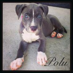Blue nose pitbull puppy. My sweet little Polu