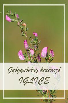 A Tövises iglic népies neve:  Gilice tövis, ekenyűg, tövises iglice.  Hogyan gyűjtsük a Tövises iglic gyógynövényt?  A növény gyökerét és virágos, leveles hajtását alkalmazzák gyógyászati célokra. A gyökerekről az agancsszerű gyökérfejet minden esetben el kell távolítani. Gyűjtési ideje tavaszi hónapoktól őszig ajánlott.