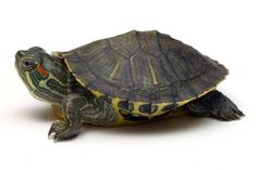 I love turtles! I used to have these as pets so tiny and cute!