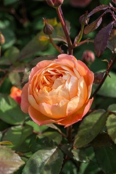Find the best-smelling roses to grow with the experts at HGTV Gardens.