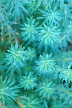 Aqua, Turquoise Blue: Euphorbias in garden (by flora-file) Lovely flowers