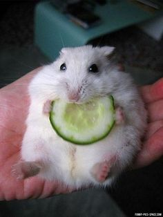 Baby hamster eating cucumber More pins under www.supondo.com