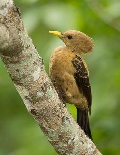 Octavio Campos Salles | Cream-colored Woodpecker (Celeus flavus)