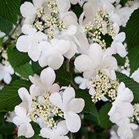 Viburnum plicatum f. tomentosum 'Kilimanjaro Sunrise'     Voted Chelsea Flower Show plant of the year 2015, this gorgeous Viburnum has it all.  Beautiful white flowers in Spring followed by red berries loved by the birds, then good autumnal foliage colour.  Never growing too large, it is ideal for smaller gardens.