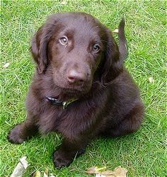 puppy...flat coated retriever