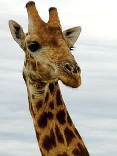 The average life span of a giraffe in the wild is between 20 to 25 years