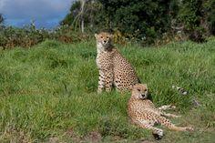 Cheetahs in the Wild by Charissa Lotter (de Scande) on Port Elizabeth, Cheetahs, Giraffe, Fox, Park, Photos, Animals, Image, Felt Giraffe